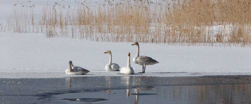 Vinterbild - sångsvanar invid vassen i sjön Valdermaren
