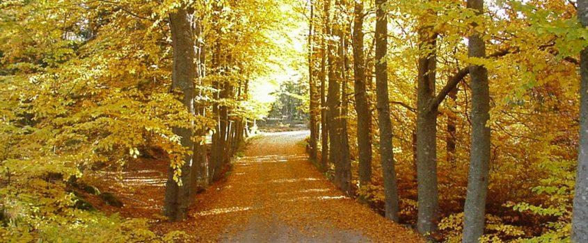 Solig höstdag i trädallé, löv på grusvägen