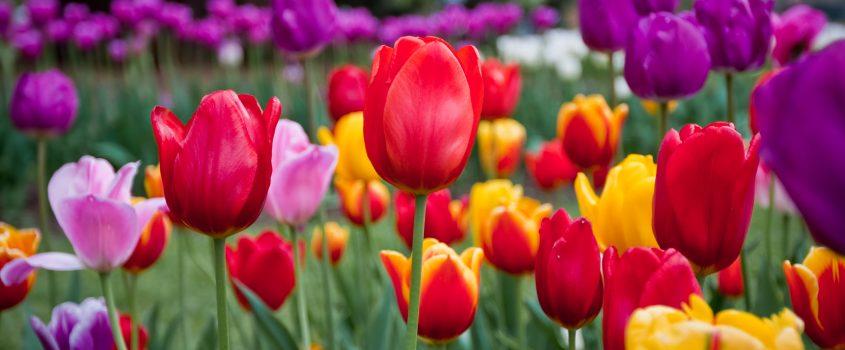 Tulpaner i olika färger.