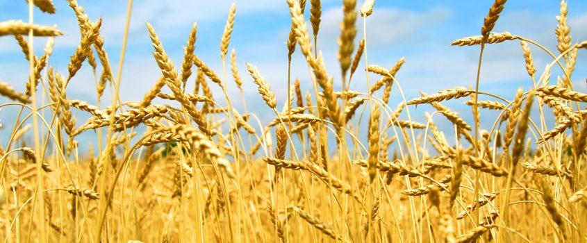 Fält med korn