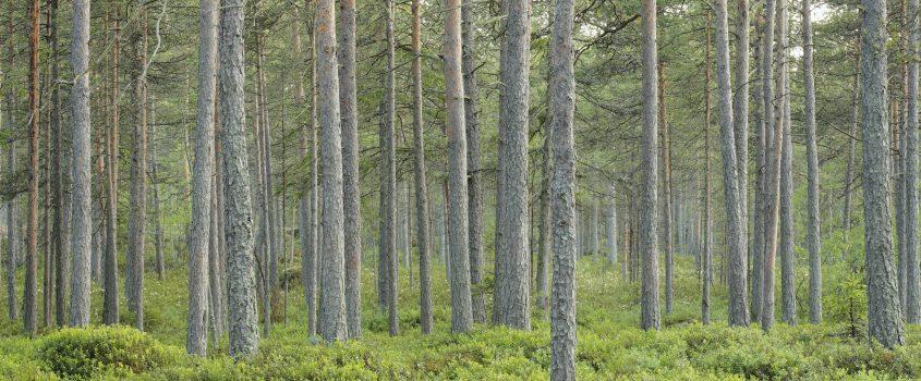 Skogsmiljö med tallar