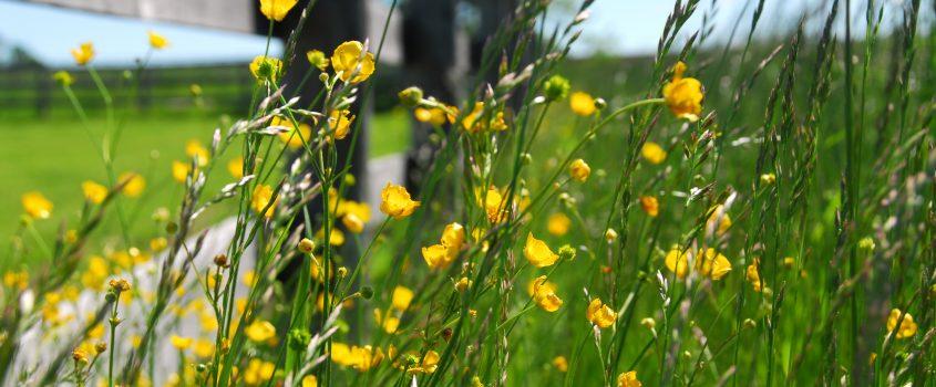 Smörblommor och ängsgräs