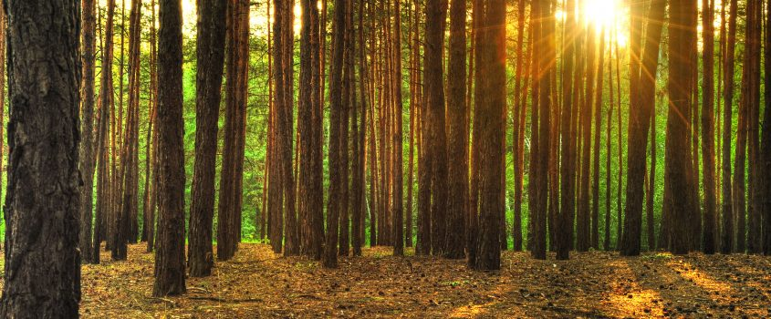 Solen som skiner genom träd i skogen