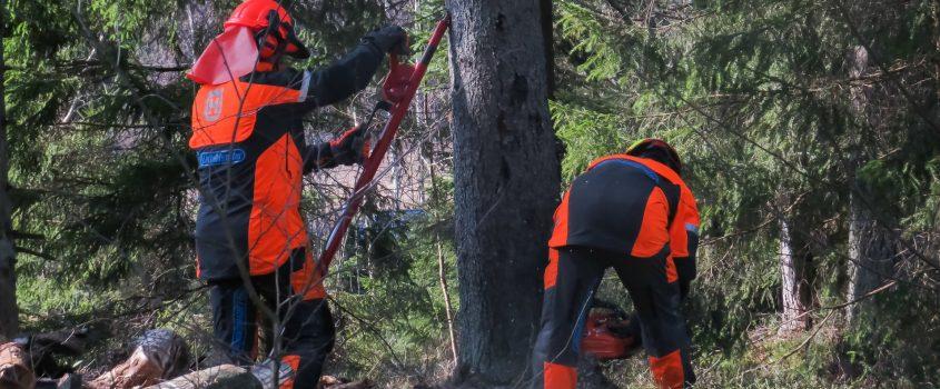 Två skogsarbetare med skyddsutrustning förbereder för att fälla ett stort träd
