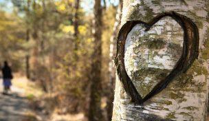 En björk med ett stort inristat hjärta, gångväg, höst