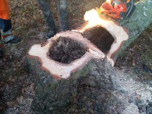 Stubbe och stam av nedsågat träd i Malmköping