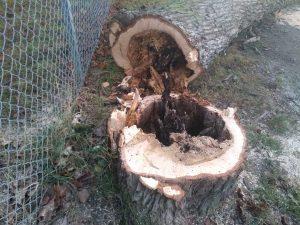 Stubbe och stam av ihåligt nedsågat träd i Malmköping