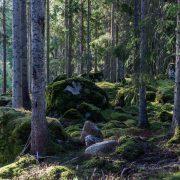 Skog med granar och mossa