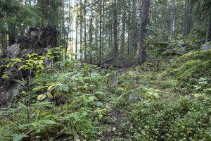 Skogsstig, igenväxt