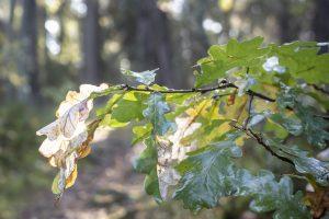 Eklad i skogsmiljö