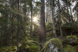 Skogsmljö med solsken över mossbeklädda stenar