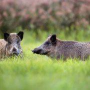 Två vildsvin på en gräsäng