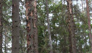 Granskog angripen av granbarkborrar